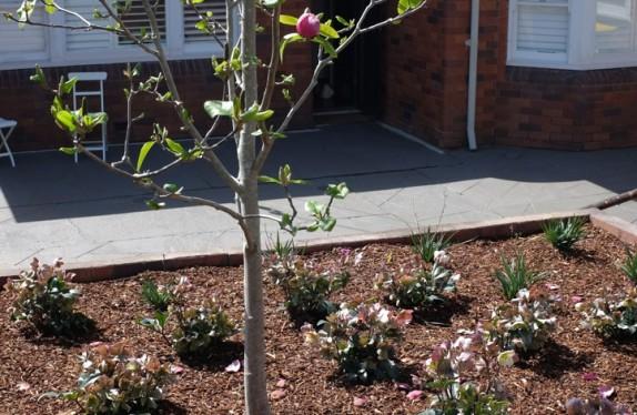 Helleborus orientalis as an underlay to the Magnolia at Castlecrag garden