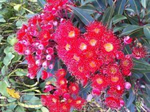 Flowering Red Gum